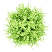 top view of large boxwood plant isolated on white background