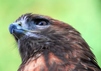 Closeup portrait of a Goshawk (Accipiter gentilis)
