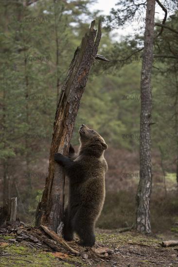 exploring its habitat... European Brown Bear *Ursus arctos*