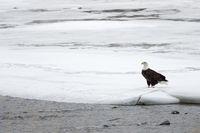 on the snow covered banks of Yellowstone river... Bald Eagle *Haliaeetus leucocephalus*