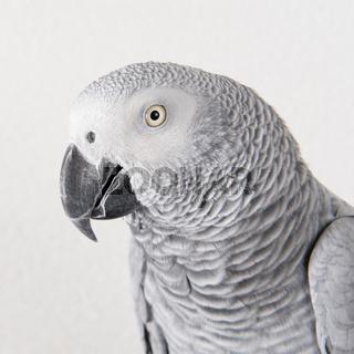 Portrait parrot in studio