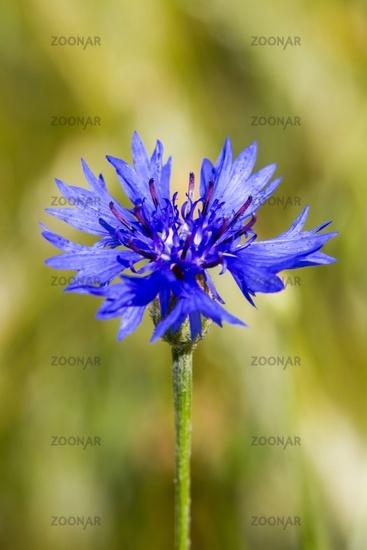 Cornflower 10