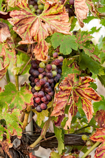 Colored grapes before becoming red