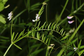 Vicia hirsuta, Rauhaarige Wicke, hairy vetch, tiny vetch