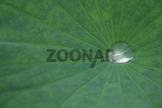 lotus leaf with dew