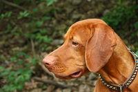 Hundeportrait Vizsla