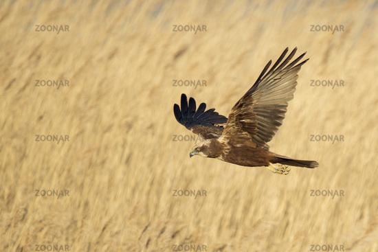 searching for prey over the reeds... Western Marsh Harrier *Circus aeruginosus*