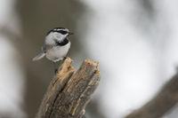 small and agile... Mountain chickadee *Parus gambeli*