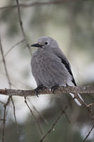 typical jay... Clark's nutcracker *Nucifraga columbiana*