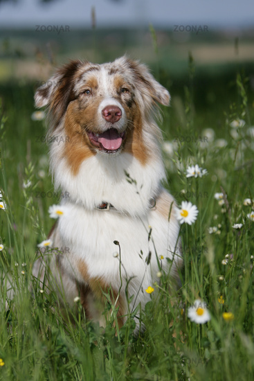 Australian shepherd puppy sitting between flowers