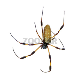 Golden Silk Orb Weaver Spider