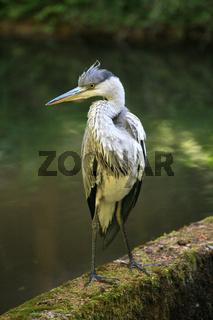 Fischreiher oder Graureiher, Grey Heron, Avolea cinerea