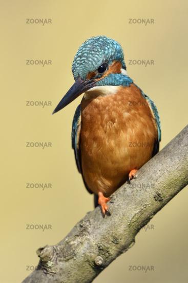 Eurasian Kingfisher * Alcedo atthis *