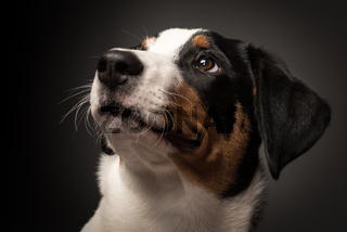 appenzeller sennenhund auf schwarz im portrait