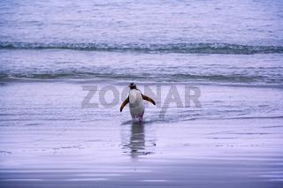 gelbaugenpinguin, megadyptes antipodes, neuseeland, suedinsel, curio bay, yellow-eyed penguin, new zealand, south island, curio bay