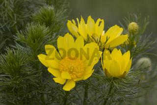 Fruehlings-Adonisroeschen, Adonis vernalis, pheasant's eye