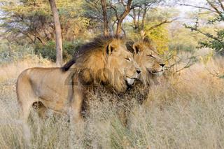 ausgewachsene Loewen, Pascha, maennlich (Panthera leo), Namibia, Afrika, Full-grown lions, male, Africa,