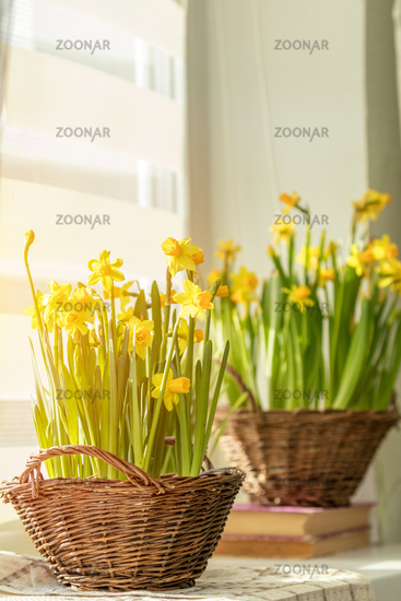 Morning sunlight on the daffodils. Bloom yellow daffodils on the windowsill in baskets, close up.