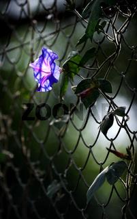 Flower of decorative Convolvulus