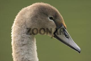 Höckerschwan, Cygnus olor, Mute Swan