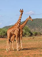 griaffes in Afrika