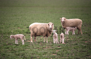 Ewes wih their lambs