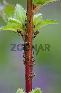 Ameisen mit Blattläusen, Symbiose, Natur