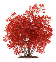 flowering quince plant isolated on white background