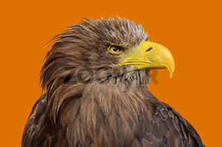 Close up profile portrait of white tailed eagle