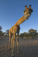 Giraffe in the Kalahari, Botswana.