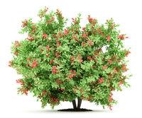 pidgeon berry shrub plant isolated on white background