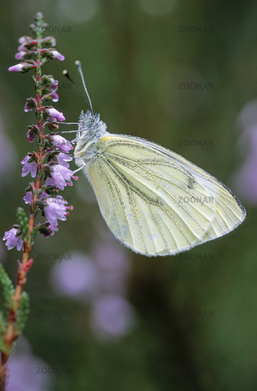 Green-veined White, the sexes differ, the female has two spots on each forewing, the male one
