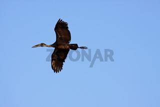 Klaffschnabel, Sambia; Open bill stork, Zambia