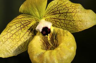 Labellum, Frauenschuh Orchidee