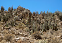 Cactus In The Andes