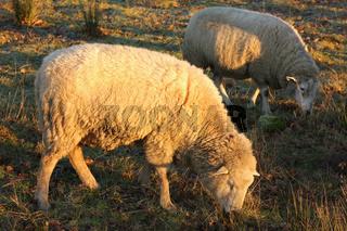 Schafe auf Weide im Winter