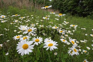 Ox-eye daisy, Leucanthemum vulgare, Wiesen-Margerite