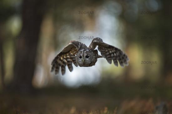 in open woods... Tawny Owl *Strix aluco*