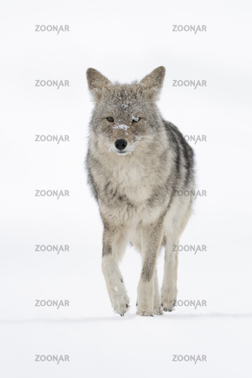 coming closer... Coyote *Canis latrans*