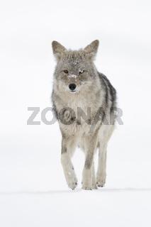 in leichtem Trab... Kojote *Canis latrans*