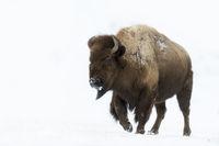 impressive... American Bison *Bison bison*