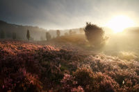 misty gold sunrise over hills with heather