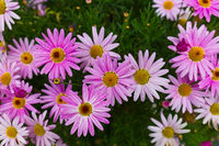 Flowers - nature floral background