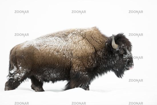 impressive bull... American Bison *Bison bison*
