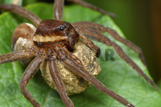 Spider with a cocoon.