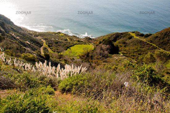 Weedy pampas grass  at the Big Sur coast, Los Padres National Forest, California, USA