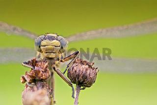 Libelle im Portrait