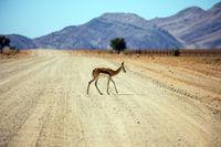 The impala cross the road