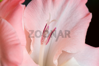 The details (close up shot) of gladiolus flower