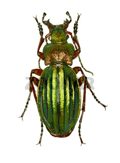 Golden Ground Beetle on white Background  -  Carabus auronitens (Fabricius, 1792)